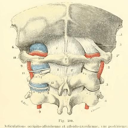 cervicales-hautes