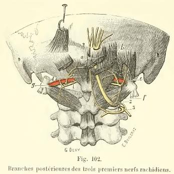 cervicales-nerf