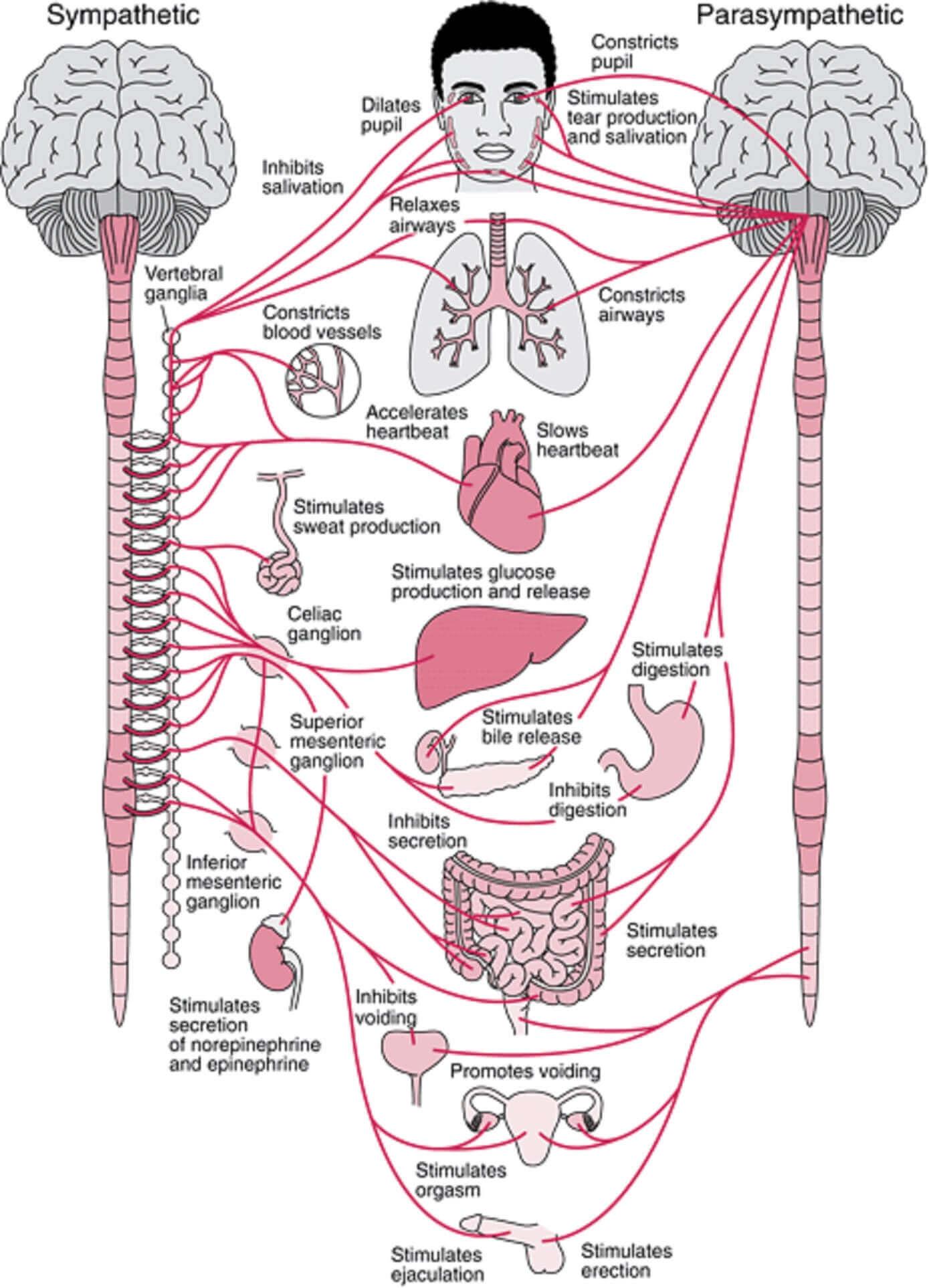 autonomic-nervous-system